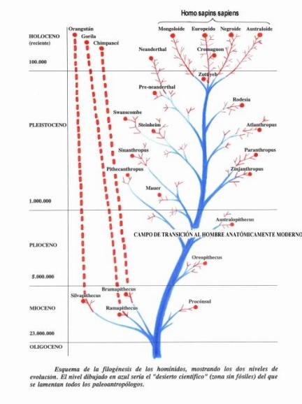 Origen del hombre moderno. Filogénesis de los homínidos.
