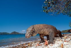 Komodo's Island