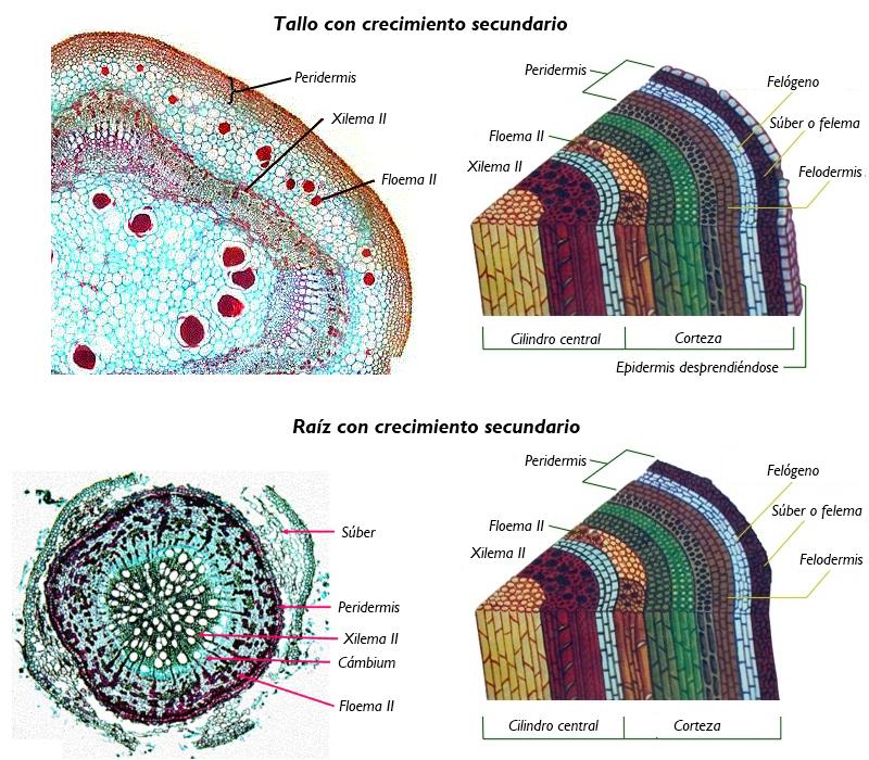 B.log.ia 2.0: Anatomía y fisiología vegetal III: estructuras ...