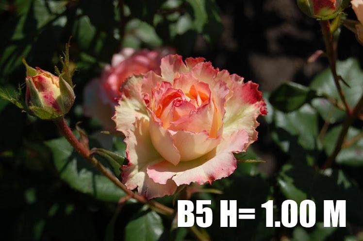 B5 H= 1