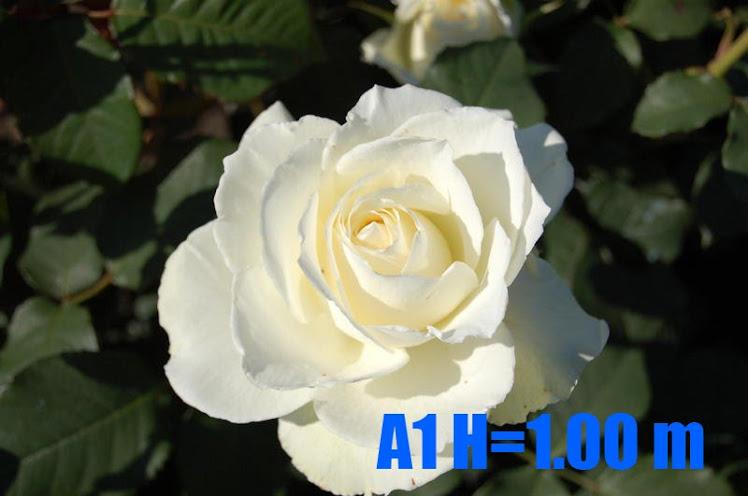A1 H=1
