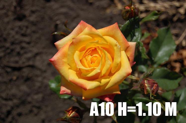 A10 H=1