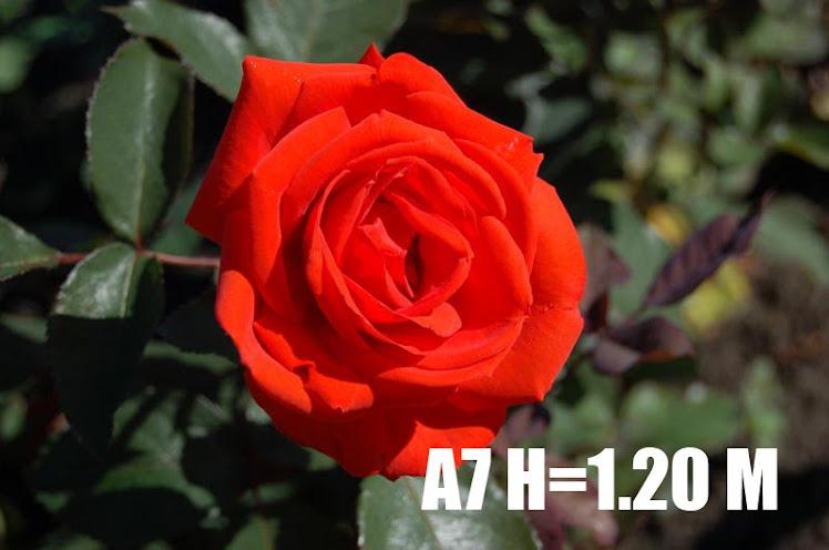 A7 H=1