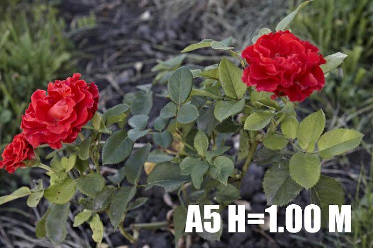 A5 H=1