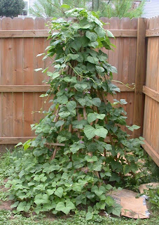 Pole Bean Tipi