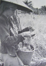 Woman Harvesting Wet Padi