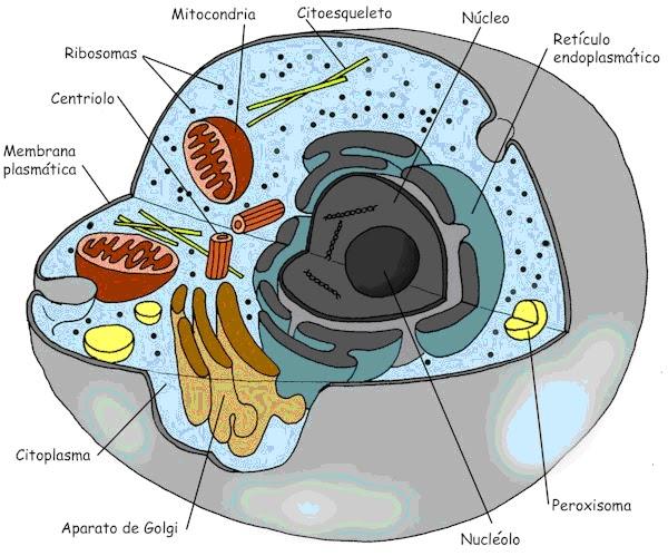 la celula animal. hair la celula animal. La célula animal y vegetal diferencia entre celula