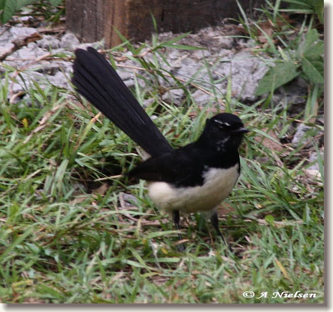 Out And About In Cooloola Willie Wagtail