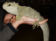 The Tuatara: found only in NZ