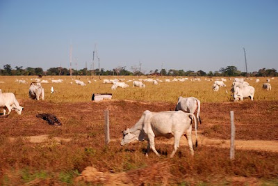 Brazilian Cattle