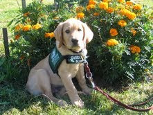 Guide Dog puppy Tully