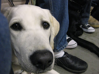 A closeup photo of yellow lab Franco's face