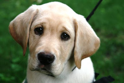 Yellow Lab Guide Dog puppy Angelo