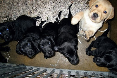 A new litter of Labrador puppies