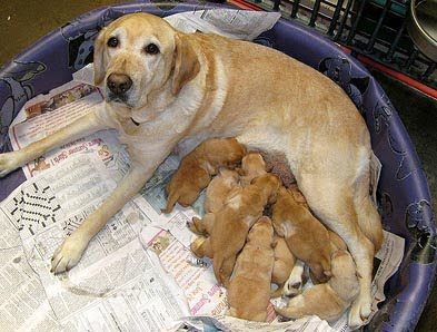 A litter of new puppies with their mama
