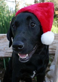 A black Lab wearing a red Santa hat