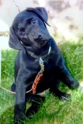 Black Lab puppy Gannon