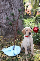 Yellow Lab Guide Dog puppy pictured underneath a scraggly Christmas tree
