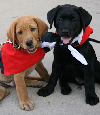 Neutron and Melville, two of the puppies being raised in Texas, wearing Lone Star bandanas.