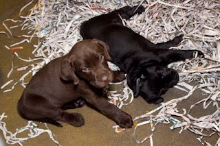 One of the chocolate pups with a black littermate