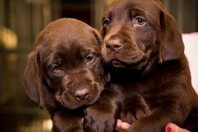 GDB's two chocolate-coated pups