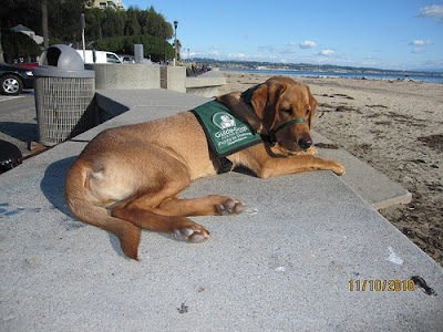 Guide Dog puppy Havarti at the beach, submitted by Gerald Edwards.