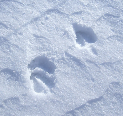 see where a deer was walking to the woods. A nice closeup of the tracks.