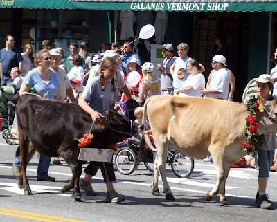 A picture from the annual Strolling of the Heifers