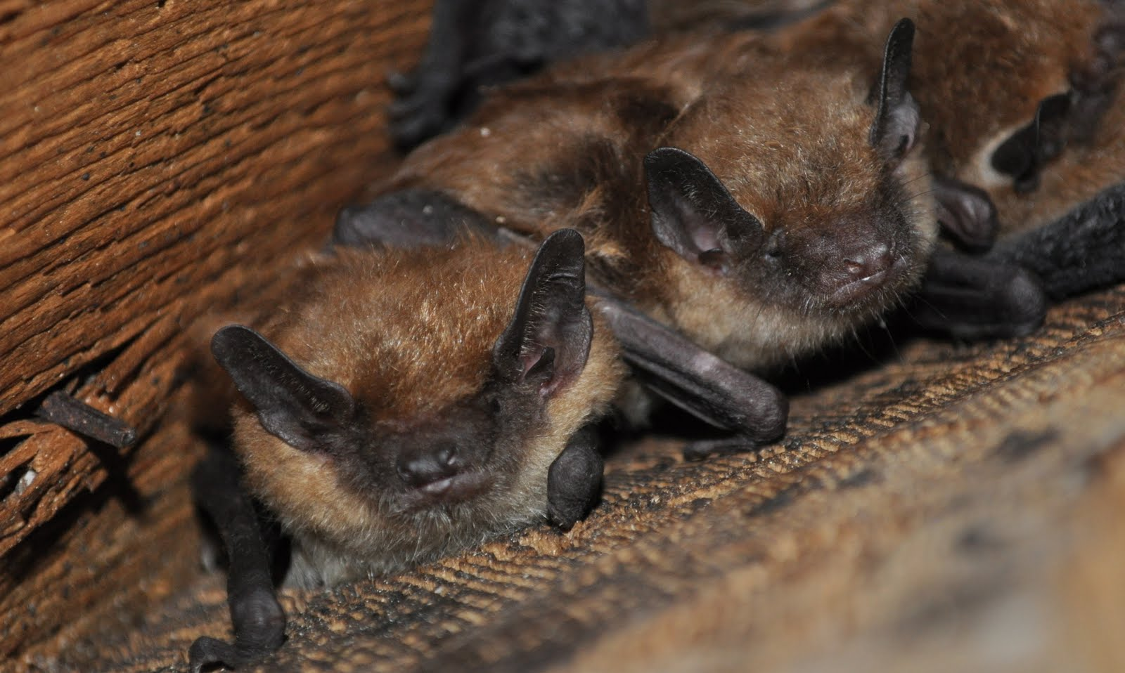 how to get rid of bats in house