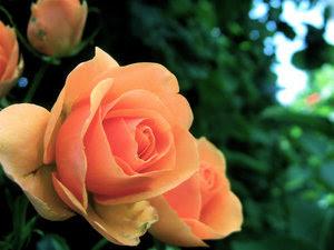 56. Gönülçelen -Inima furata - Heart Stealer - General Discussions - Comentarii - Pagina 20 Roses+3