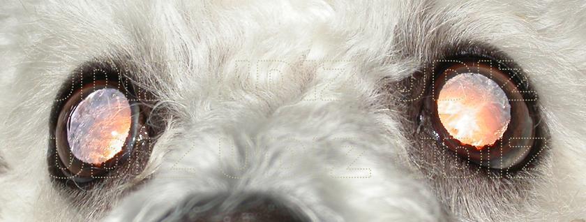 Resultado de imagen para Atrofia progresiva de la retina: PRA en perros