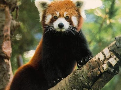 My funny red panda aka the firefox ailurus fulgens pictures
