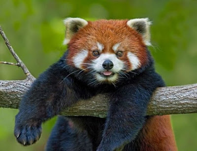 Red Panda ~ Damn Cool Pictures
