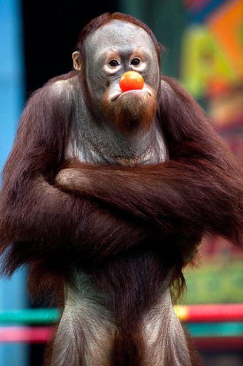 kickboxing_orangutans_in_thailand_14.jpg