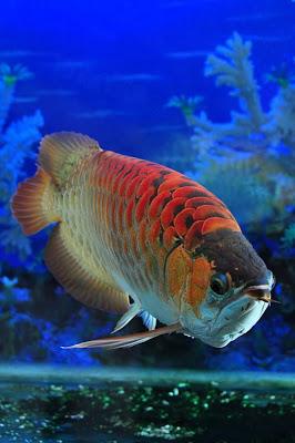 Arowana Red Dragon Fish