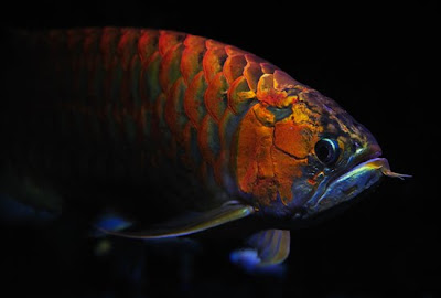 Chili red arowana fish