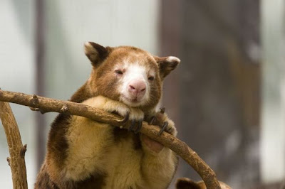 Tree Kangaroo Pictures