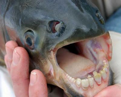 http://1.bp.blogspot.com/_mmBw3uzPnJI/Sk4i_0a1LNI/AAAAAAAApsw/sLTgWD6fJ4I/s400/human_teeth_01.jpg