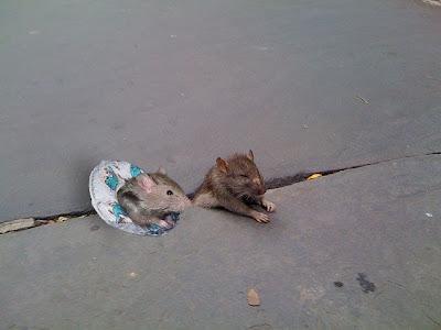 http://1.bp.blogspot.com/_mmBw3uzPnJI/Sug0nVaRbkI/AAAAAAAA1N4/b75MuGWw_fM/s400/sad_rat_sidewalk_17.jpg