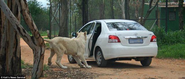 http://1.bp.blogspot.com/_mmBw3uzPnJI/SwKnireSkOI/AAAAAAAA3PI/2oMfo4_7WCs/s1600/lion_opens_car_door_05.jpg