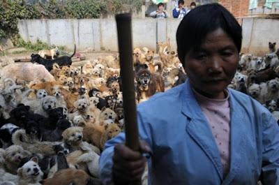 امرأة صينية تربى 1500 كلب و 200 قطة