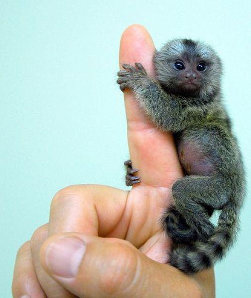 http://1.bp.blogspot.com/_mmBw3uzPnJI/TQjfjM2qhdI/AAAAAAAB0pM/rNQF4tVy6ac/s1600/finger_monkeys_03.jpg