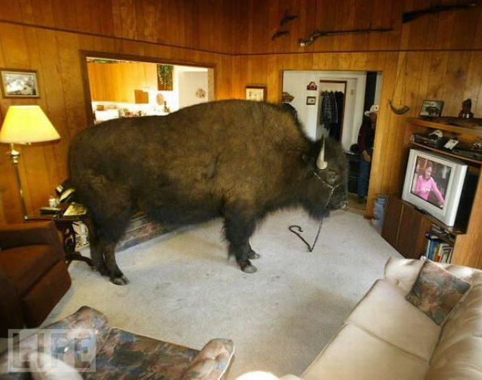 Buffalos can also be amazing house pet seen on www coolpicturegallery