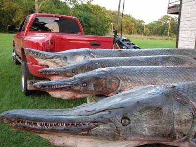 سمكة التمساح