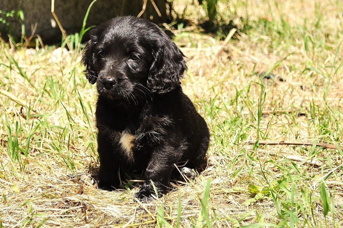 Cockerini cuccioli adottati for Nomi per cani maschi taglia piccola