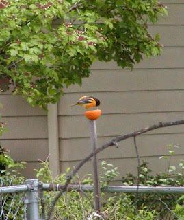 finally managed to attract a baltimore oriole to the yard this year
