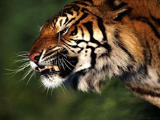 Tiger anger wallpaper