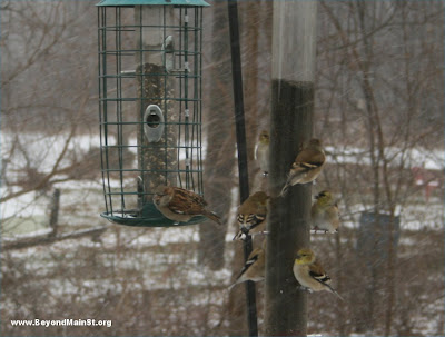 goldfinch at feeders