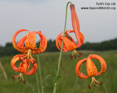 turk's cap lily at carlos avery wma
