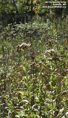 restored prairie at Harriet Alexander Nature Center